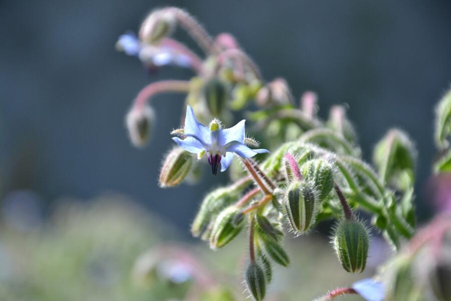 Бораго - огуречная трава: что можно из нее приготовить?