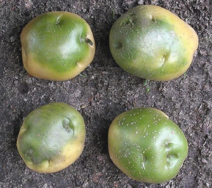 В чем вред зеленой картошки?