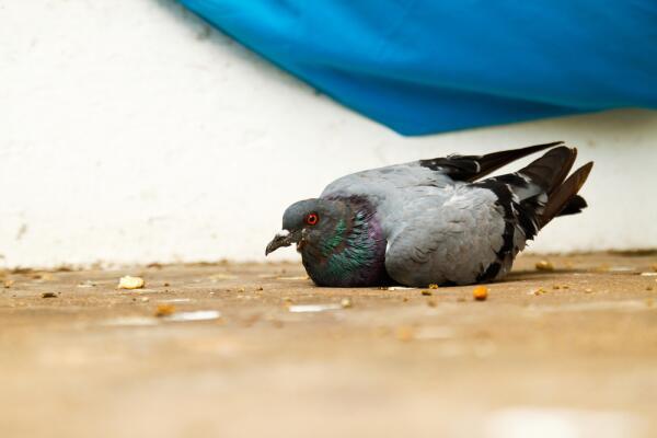 Как вылечить больного голубя и затем выпустить его на волю?