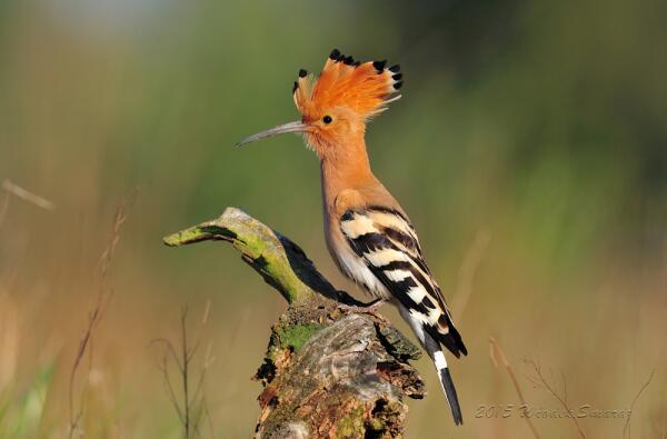 Кто дал птицам красивое оперение?
