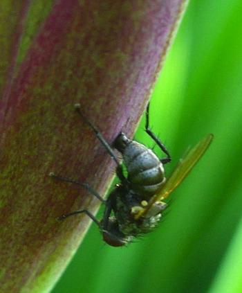 На заметку цветоводу: как спасти ирисы от мух-цветочниц?