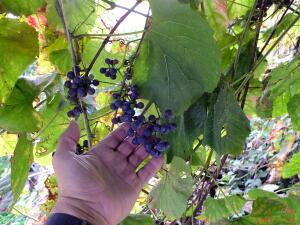 Чем привлекателен для садовода Амурский виноград?