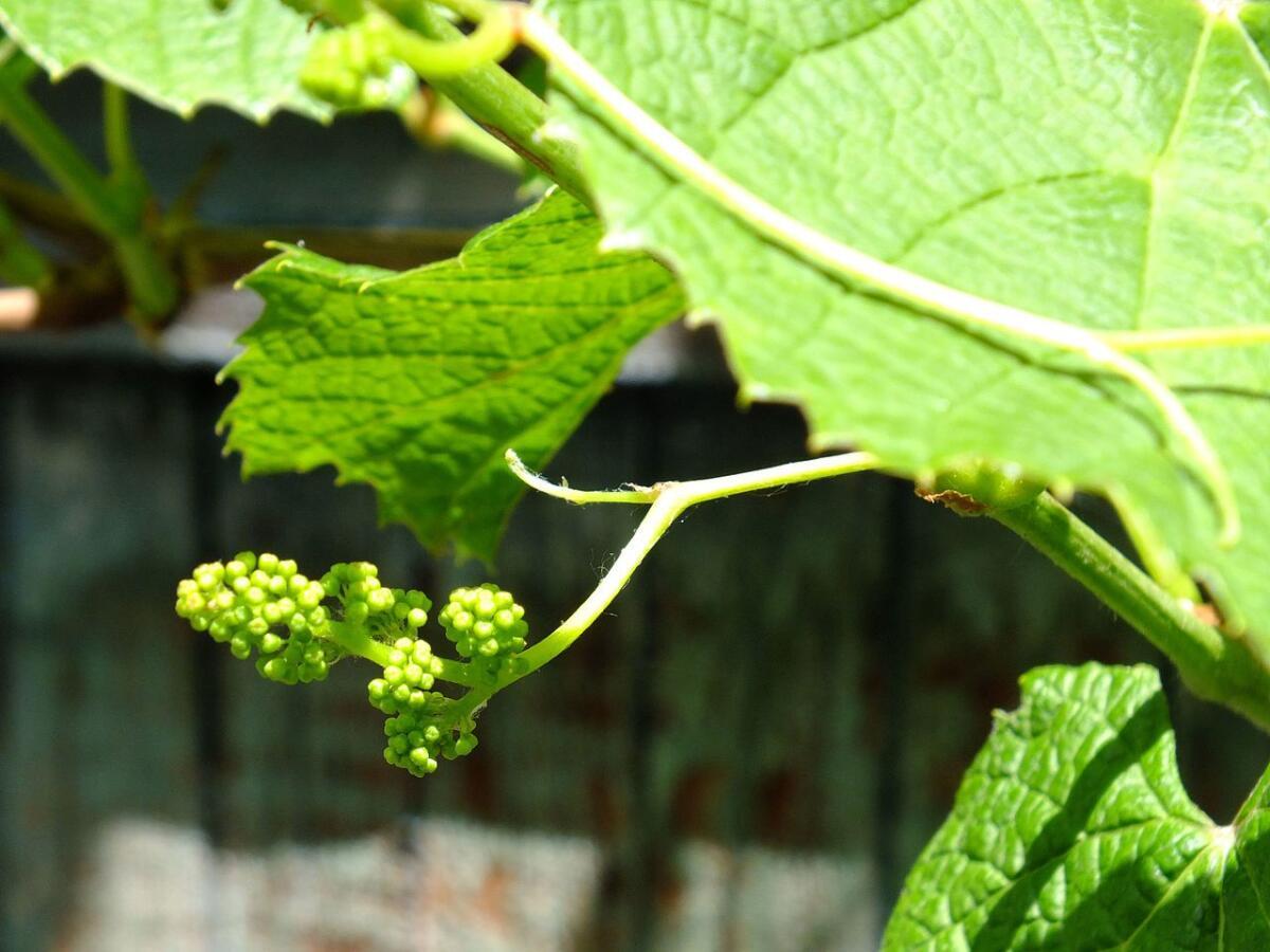 Цветок амурского винограда