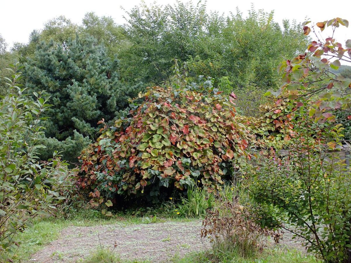 Амурский виноград на даче