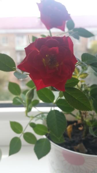 Как выращивать домашнюю розу?