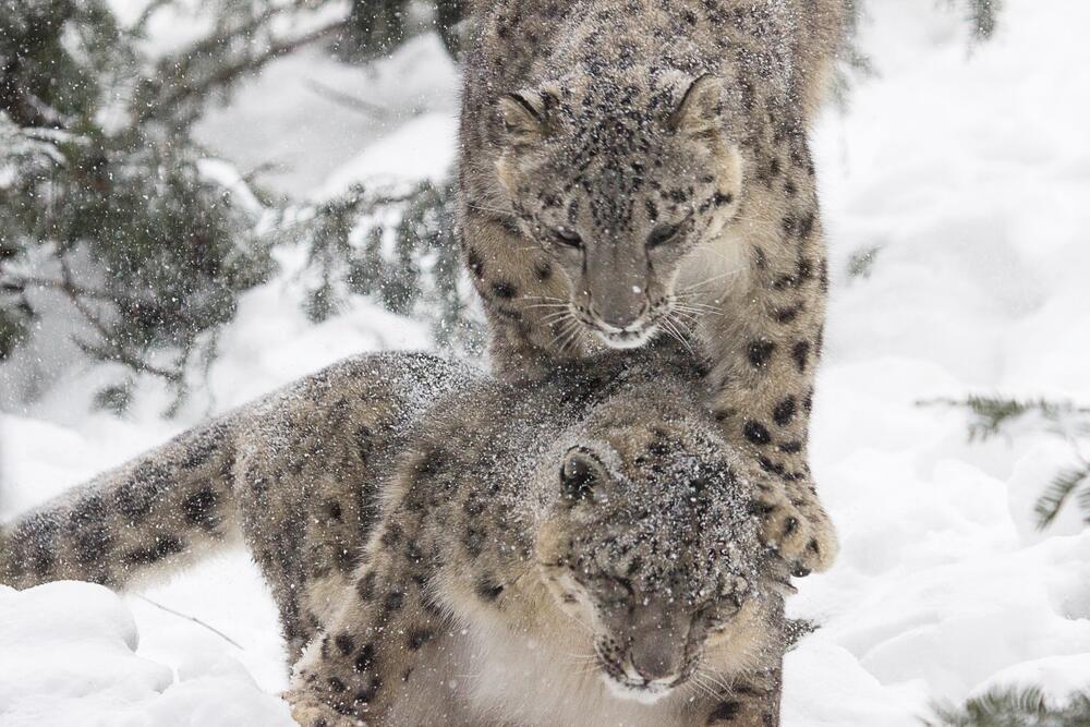 Мир диких кошек. Кто угрожает ирбису?