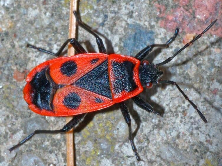 Красноклоп Pyrrhocoris apterus