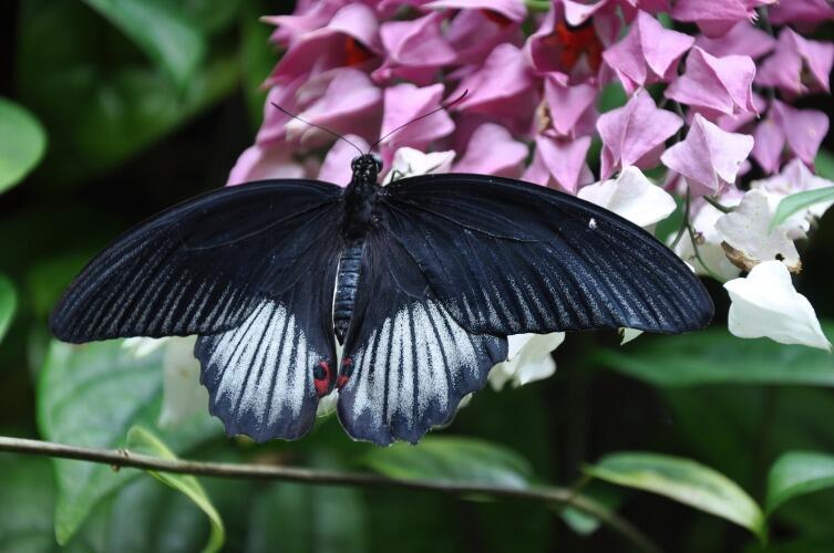 Великий Мормон - крупная бабочка, которая входит в семейство Махаонов.
