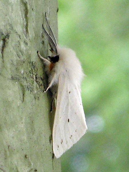 Белая древесная бабочка - очень любопытный и необычный вид.