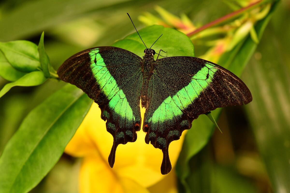 Зеленополосая бабочка-павлин - ее роскошные крылышки переливаются бирюзой, что отличает ее от всех остальных существующих дневных видов.