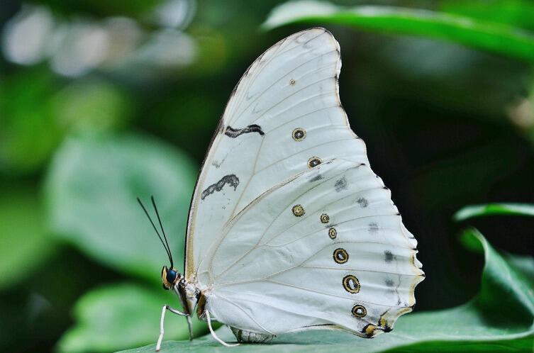 Белая Морфо - тропический вид, который проживает на территории Мексики, в Вест-Индии и в Центральной Америке.
