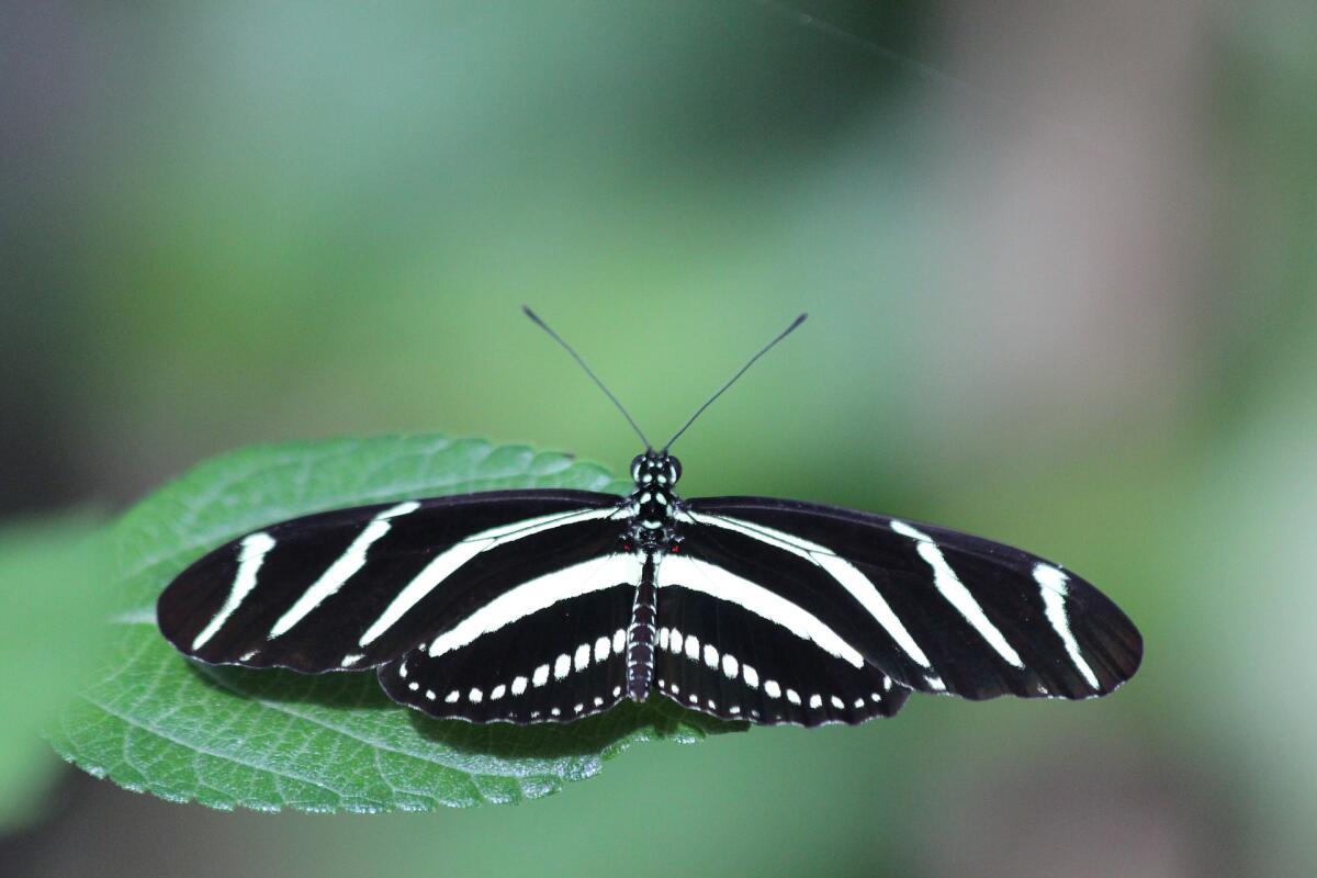 Бабочка-зебра - отличается длинными угольно черными крыльями, по всей ширине которых проходят ярко белые полоски.
