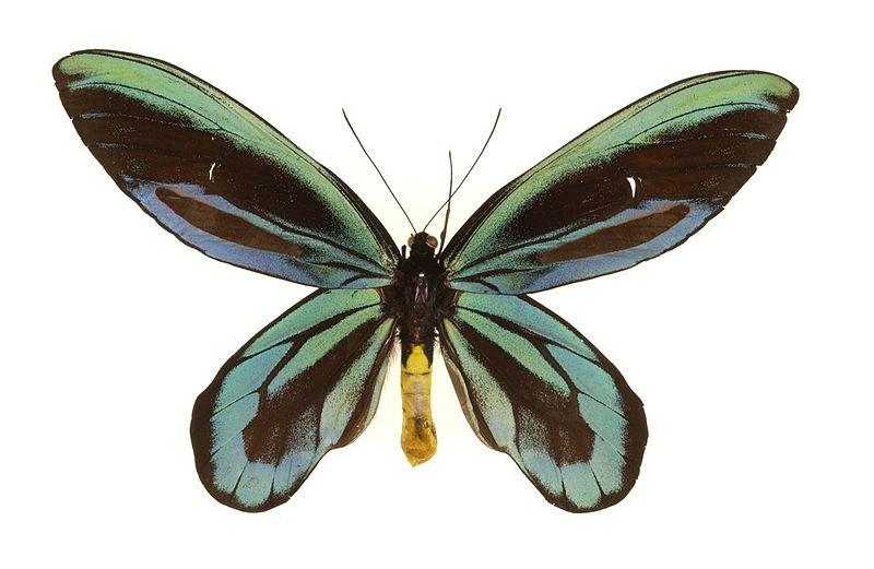 Королева Александра - один из самых крупных видов бабочек во всем мире с размахом крыльев до 30 см.