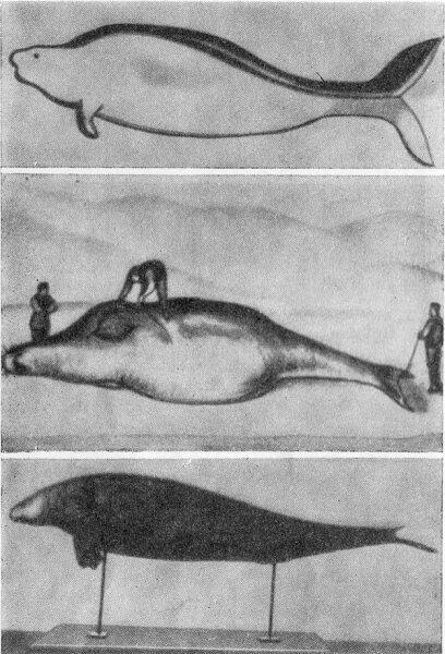 Старинные рисунки стеллеровой коровы