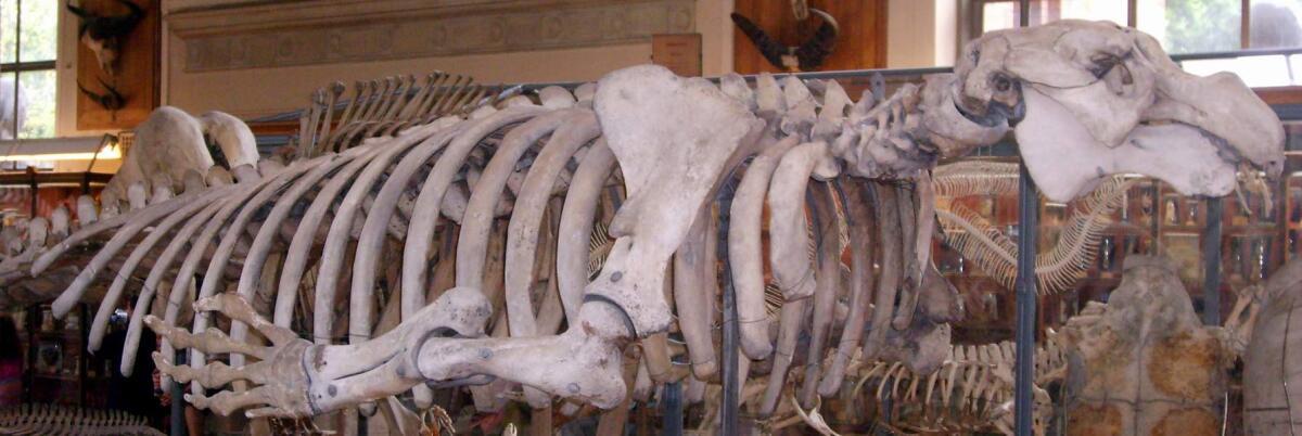 Скелет стеллеровой коровы в Национальном музее естественной истории в Париже
