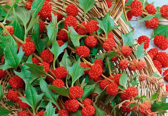 Земляничный шпинат. Как его выращивать и употреблять?