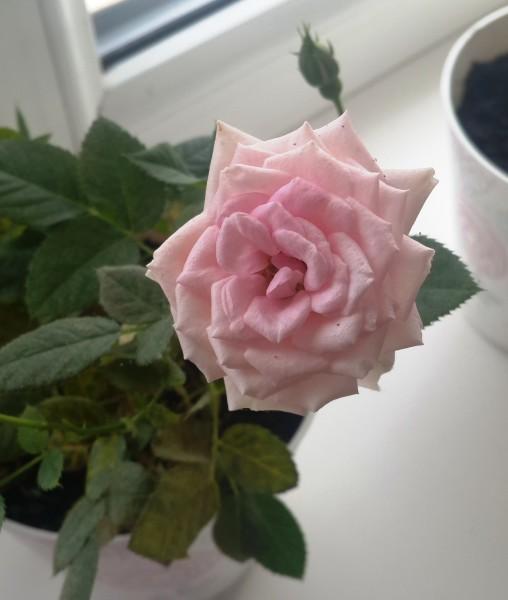 Как уберечь комнатную розу от заболеваний и вредителей?