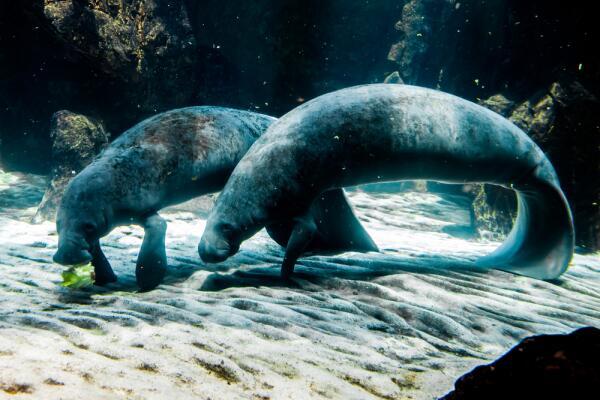 Можно ли спутать толстого мордатого зверя с русалкой или сиреной?
