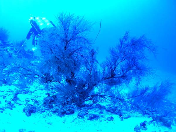 Внешний вид колонии чёрного коралла