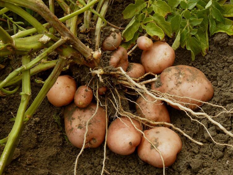 Нужны ли картошке цветки?