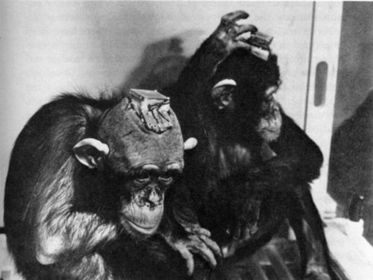 Шимпанзе с вживленными стимосиферами