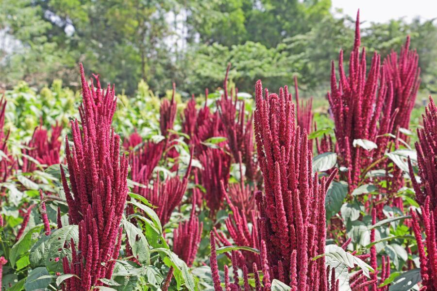 Амарант. За что его называют божественным растением?