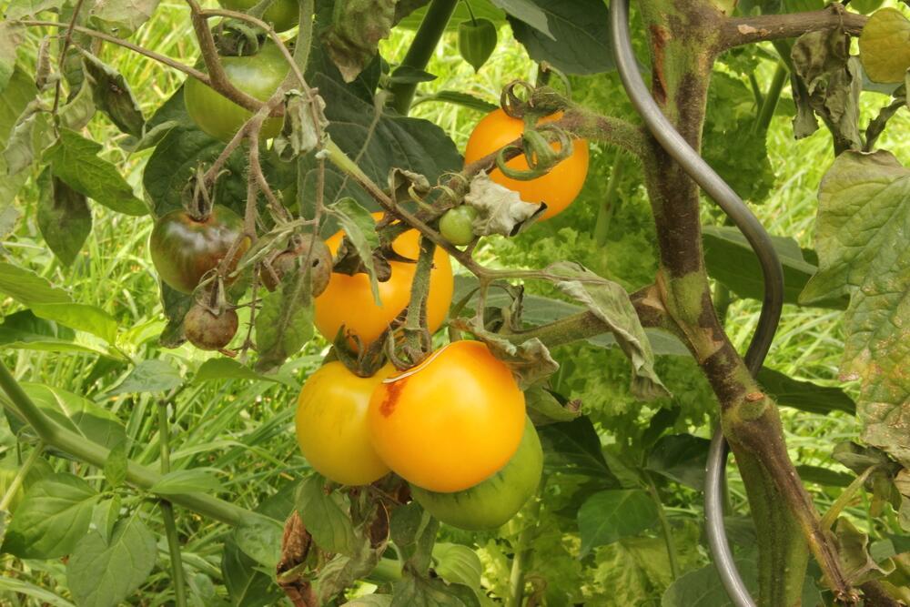 Что надо томату для нормальной жизни?  Хит-парад страхов и желаний томата.