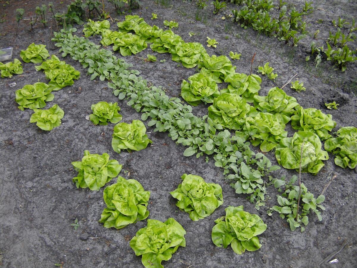Как  вырастить на огороде два урожая за один сезон?