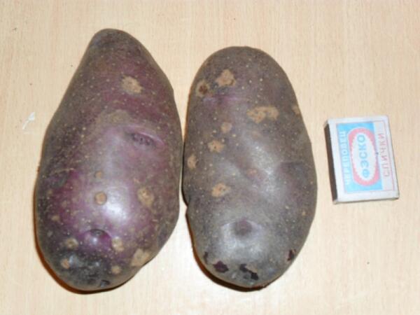 Картофель Кубинка вырос между кустов смородины