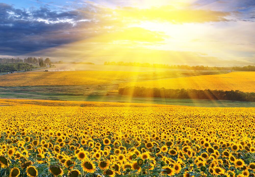 Именно ради солнечного света и его тепла подсолнечник и «крутит головой»