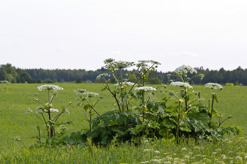 Борщевик Сосновского— это на сегодня самое агрессивное и опасное растение средних широт