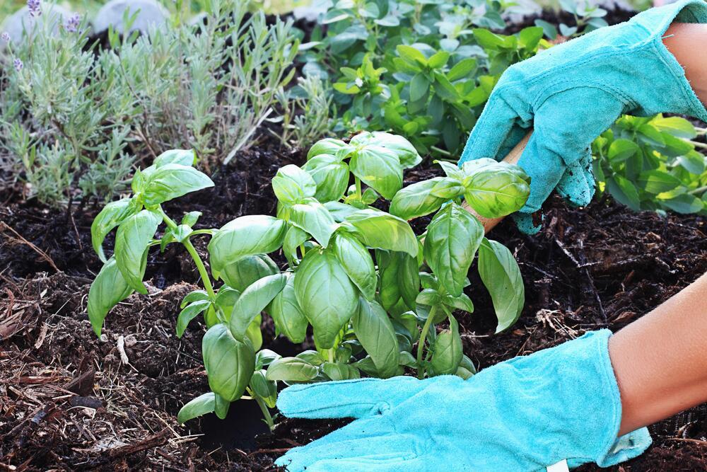 Многие растения найдут своё применение в салатах, маринаде, соусах