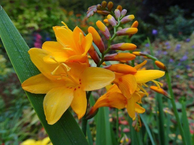 Крокосмия украшает цветники до самой осени
