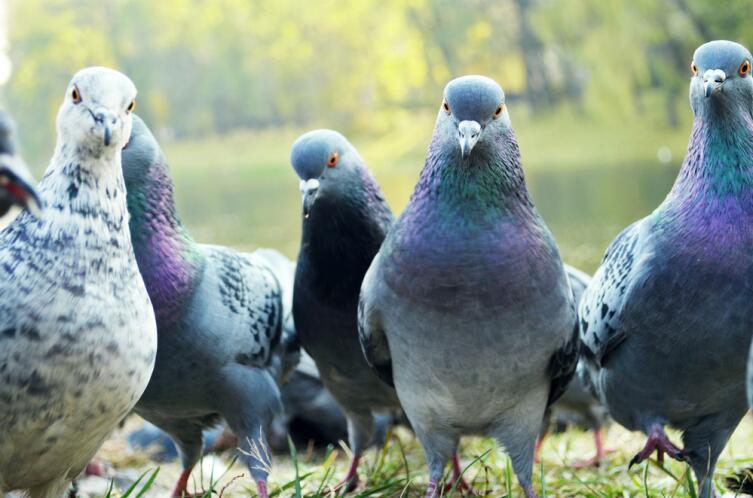 В каких случаях голуби улетают на Юг?