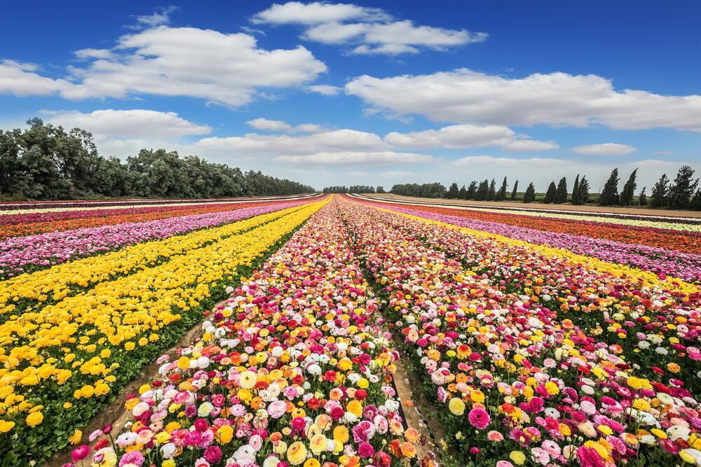 Поле разноцветных лютиков, Израиль