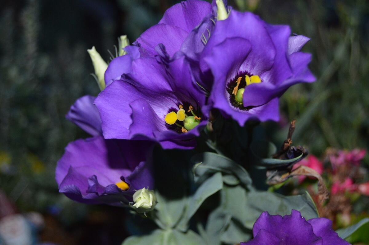 Фиолетовые цветы символизируют щедрость, успешность и богатство