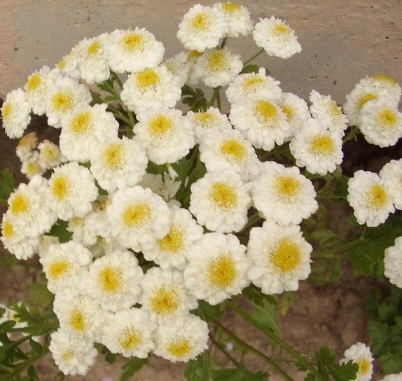 Пиретрум с махровыми цветками