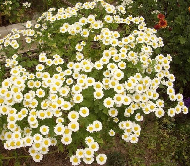 Пиретрум цветет обильно...