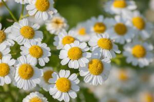 Пиретрум идеален для тех, у кого мало времени на уход за цветником (фото: И. Лукьянчик, личный архив)