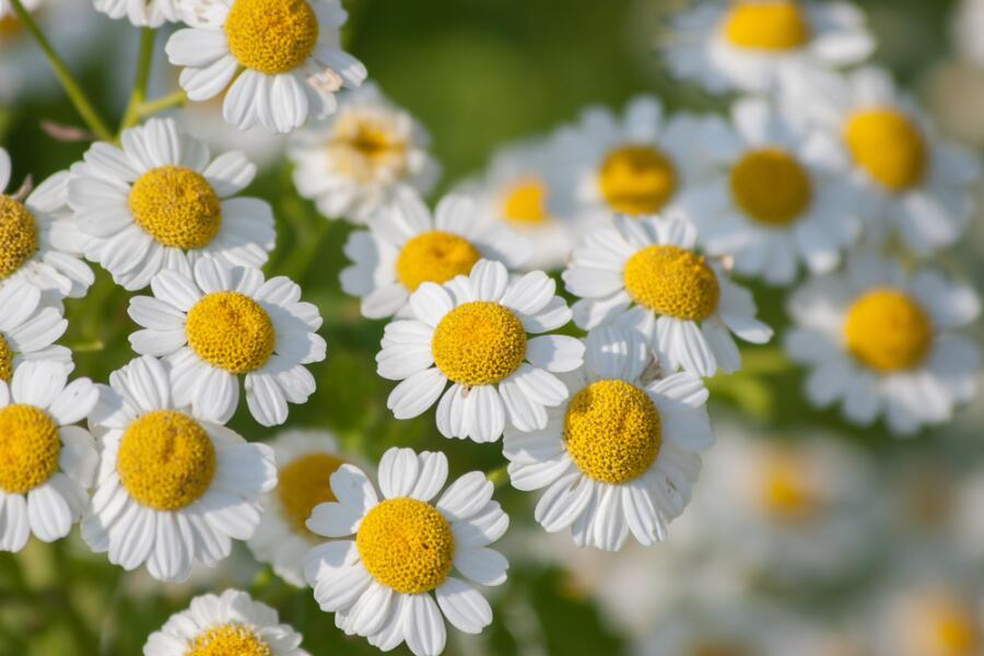 Что посадить в цветнике? Пиретрум