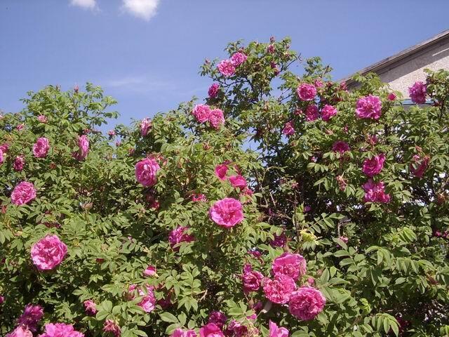 Морщинистая роза