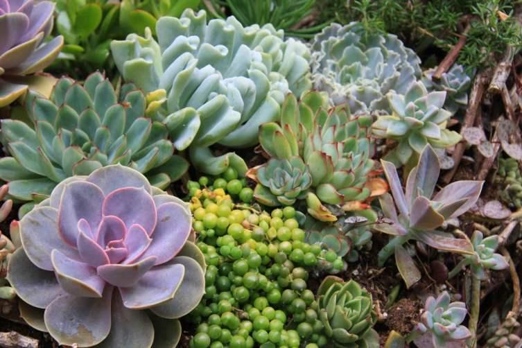 Редко цветущие суккуленты радуют глаз необычным видом листьев или формой розеток
