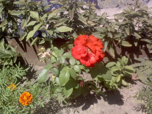 Компактная роза «Lilli Marlene» цветёт до морозов. Хороша для балконов, террас, палисадников