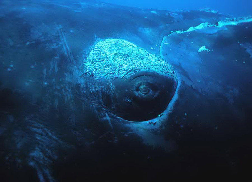Глаз Южного кита