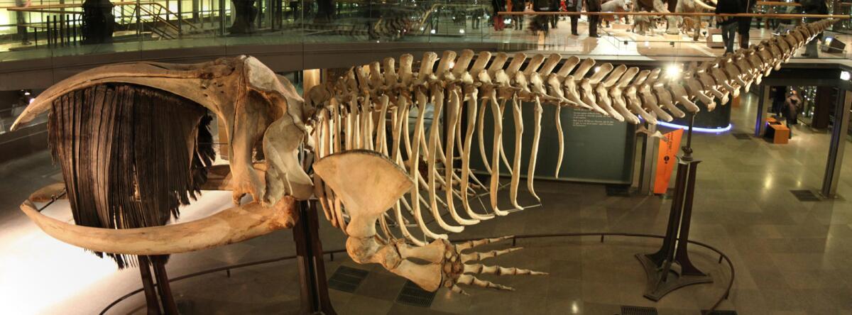 Скелет южного кита