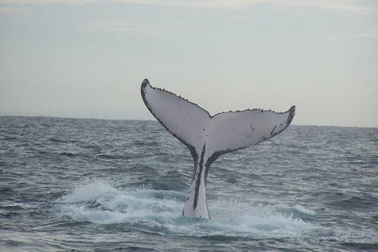 Хвостовой плавник кита-горбача