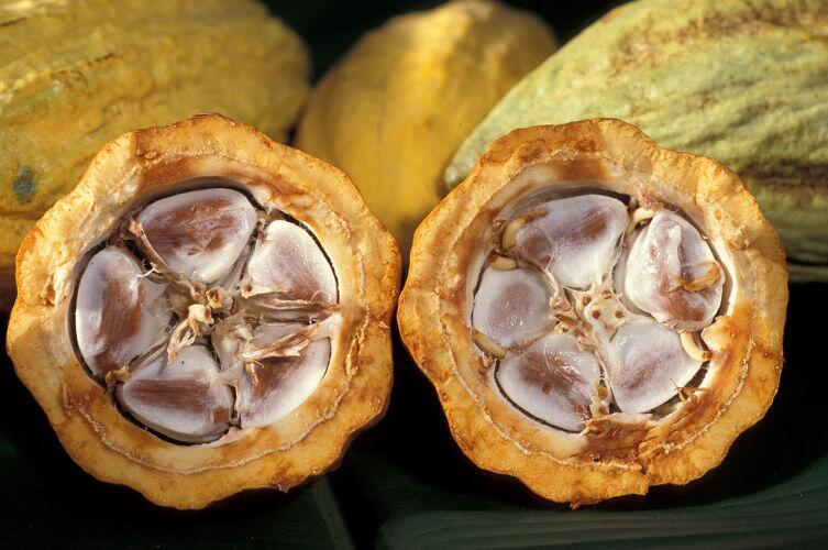 Плоды какао в разрезе