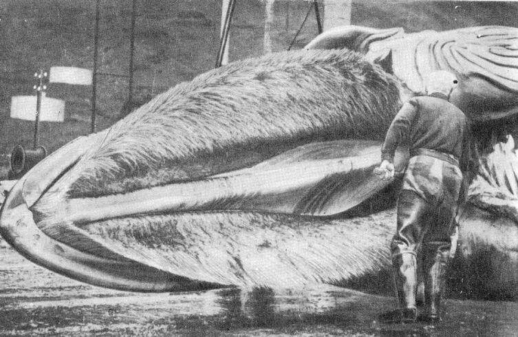 Китовый ус