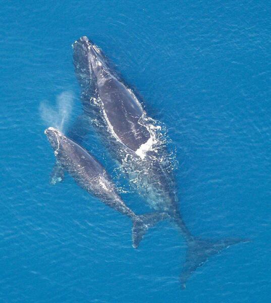 Самка южного кита с детёнышем