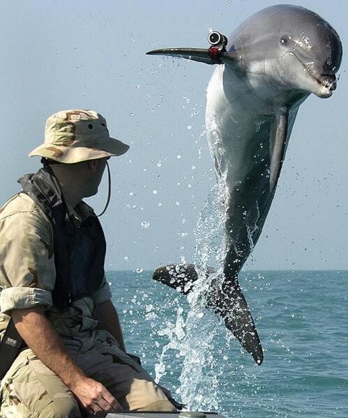 Боевой дельфин по кличке KDog выполняет разминирование в Персидском заливе во время войны в Ираке